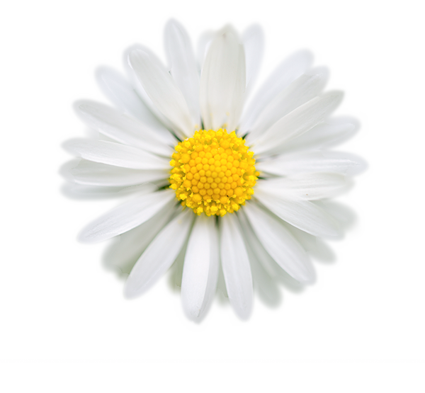 photo of daisy: source http://skitterphoto.com